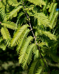 Metasequoia glyptostroboides (Dawn Redwood) (Plant Image Library) Tags: arnoldarboretum plants trees newengland boston october ecology morphology biology science botany phenology 2017 massachusetts cupressaceae 52448l leafneedle bud