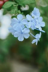 blue flower (Simona Svalina) Tags: flower flowers nature garden beautiful ph photography nikon d7200