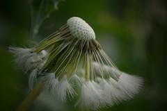 D a n d e l i o n * (Judit T) Tags: dandelion seeds plant brasil macro
