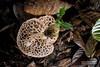 Bridal veil stinkhorn (Phallus sp.) - ESC_0188 (nickybay) Tags: malaysia borneo borneobootcamp sabah danumvalleyfieldcentre danumvalley macro bridal veil stinkhorn phallus phallaceae indusiatus phallales agaricomycetes basidiomycota