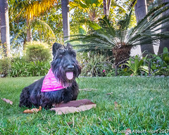 20171004Maggie dons Pink4218 (Laurie2123) Tags: ddc dailydogchallenge fujixt2 laurieturnerphotography laurietakespics laurie2123 maggie missmaggie scottie scottishterrier blackscottishterrier blackdog pink