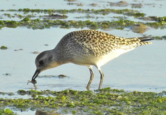 Grey Plover catching small crab. (dugwin2) Tags: grey plover pagham north wall catching small crap setting sunlight slightly gilding bird