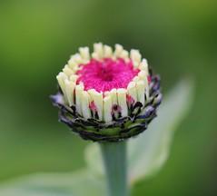 Zinnia (LuckyMeyer) Tags: zinnie makro summer flower fleur blume blüte garten pflanze sommer rosa pink green white zinnia