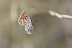 Licénido (esta_ahi) Tags: olèrdola mariposa papallona butterfly lepidoptera insectos fauna lycaenidae fonttallada penedès barcelona spain españa испания