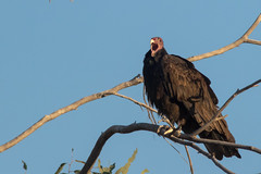 Turkey Vulture (gilamonster8) Tags: yellow vulture turkey tucson tail talons tree quality arizona az american buzzard wing sky explore eyes eos explored desert color canon common red raptor flight flickrelite falcon view bird blue bokeh beyondbokeh beak brown fly ngc usa lake plant 7dmarkii