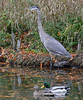 ALL TOGETHER (Bill Vrtar Photo) Tags: millcreekpark lilypond ohio vrtarsmugmugcom heron blueheron