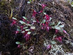 Pleurothallis species (Christophe Maerten) Tags: colombia colombie jungle cauca huila  purace paramo tierra indiguena native people parque natural parc volcan volcano vulkaan orchid