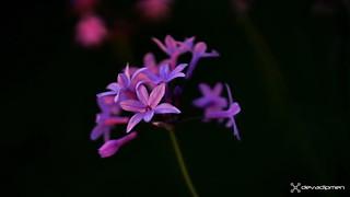 tulbaghia violaceae / 141017348