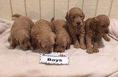 Ginger Boys 10-15