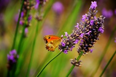 Mariposa y lavanda (Enrica F) Tags: macrofotografía flor nikon francia lavanda