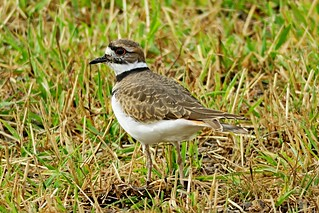 Killdeer, Kittitas County, WA 10/12/17