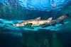 4Y4A0774 (francois f swanepoel) Tags: carcharodoncarcharias akwarium aquarium bigwhite capetown greatwhiteshark grootwithaai haai kaapstad museum shark waterfront weskaap westerncape marine conservation