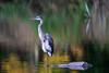 DARK COLOR (Bill Vrtar Photo) Tags: millcreekpark lilypond boardman ohio vrtarsmugmugcom heron blueheron