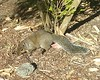 (sftrajan) Tags: strybingarboretum squirrel tail ботаническийсад sanfranciscobotanicgarden sanfrancisco