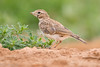 Alouette mystère (ou pas) (DorianHunt) Tags: birds bokeh spain 2017 july sigma 150600mm nikond500 wwwphotologisticscom greatershorttoedlark