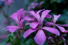 summer evening (nelesch14) Tags: flower pink macro cold pastel dreamy summer nature blur