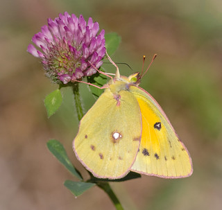 Orange Sulfur Butterfly on clover