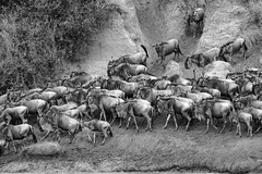 Mara Safari-8263.jpg (MudflapDC) Tags: africa safari herd marariver water vacation mara porinilioncamp plains zebra kenya greatmigration jump gamewatchers wildebeast maasaimara leap dive bw crossing wilderness masai