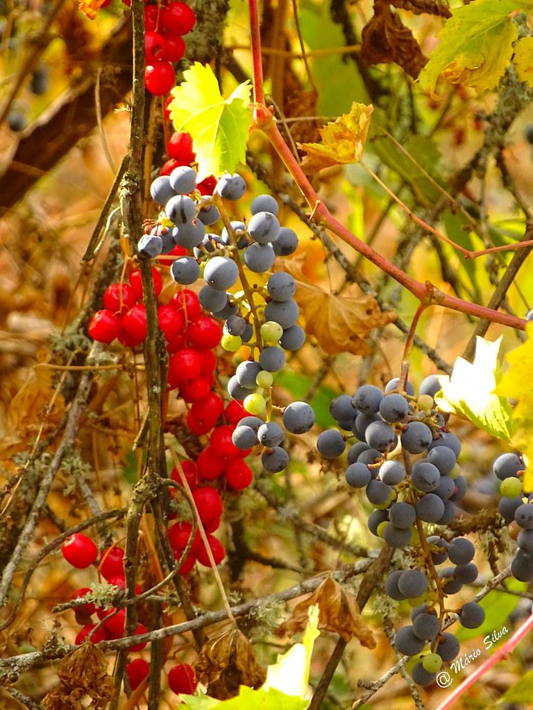 Águas Frias (Chaves) - ... bagas e uvas ...