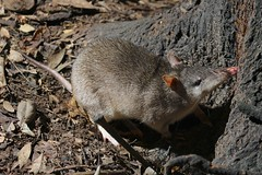 Long-nosed Bandicoot (Caleb McElrea) Tags: athertontableland farnorthqueensland wettropics worldheritagearea unesco queensland tropical hot warm humid australia topend longnosedbandicoot bandicoot nocturnal chamberswildlifelodges