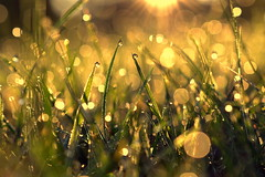 linger (joy.jordan) Tags: grass field dew light sunrise bokeh nature texture sunflare ontheground