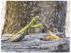 MANTIS RELIGIOSAS (BLAMANTI) Tags: mantis religiosa mantisreligiosa insectos verde marron pareja dos peligro canibalismo macho hembra naturaleza