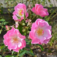 Four roses and two grasshoppers (boisderose) Tags: rosa rose roses roseto rosegarden ottobre october 2017 trieste boisderose cavallette grasshoppers exploreoct262017277