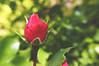 Bloom Start (jayplorin) Tags: nature flower bloom life plants colorful