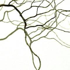elegantly crooked (vertblu) Tags: twig crooked elegant monochrome baretwig light lightshadow highkey natureabstracted abstract abstrakt abstraction abstractnature abstractfeel abstractsquared abstracted almostabstract graphical graphic shadow shadows shape shaped anglesanglesangles asif kwadrat 500x500 bsquare minimal minimalism minimalismus abstractandminimal shadowonthewall vertblu
