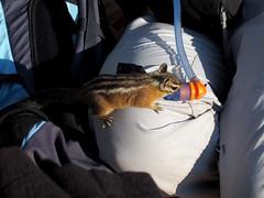 Zion NP_064 (Thomas Jundt + CV) Tags: angelslanding chipmunk nationalpark streifenhörnchen usa utah zionnp
