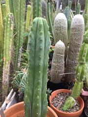 Trichocereus pachanoi cv Landfill (djnionas) Tags: pachanoi trichocereus