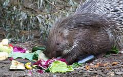 DSC_5375 (Bianca Wolfsteiner) Tags: tierparkhellabrunn stachelschwein