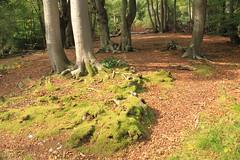 epp30 (Tony Wyatt Photography) Tags: eppingforest epping forest london woods trees beech mushrooms flyagaric alienmushroom puffball corporationoflondon autumn roots treeroots austin austinofengland austincar oldfolks