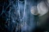 The Fabulous Universe of Spiders - Part 6 (ursulamller900) Tags: pentacon2829 extensiontube 12mm makroring spiderweb spinnennetz bokeh blue tau morningdew