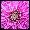 Chrysanthemum (NadzNidzPhotography) Tags: snapseedforios snapseed filltheframe flowers flower nature lavender nadznidzphotography 7dwf wednesdays macroorcloseup macro closeup