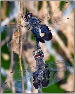 Black Saddlebag Dragonflies (Tramea lacerata) -Explored- DSC_4573