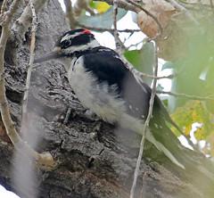 CAE006263a (jerryoldenettel) Tags: 170923 2017 hairywoodpecker leuconotopicus leuconotopicusvillosus nm northroosevelttrap picidae piciformes picoides picoidesvillosus rooseveltco woodpecker bird