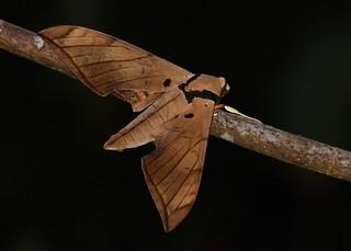 Ambulyx pryeri moth