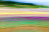 Streaky Saturday (Derek Midgley) Tags: dsc08447 mystery tulips tesselaar festival flowers colours handheld