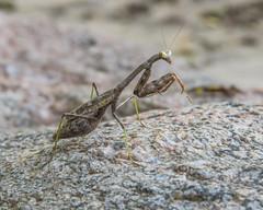 Carolina Mantis (wplynn) Tags: stagmomantis carolina mantis insect indianapolis indiana marion county