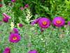 2017 Germany // Unser Garten - Our garden // im September // (maerzbecher-Deutschland zu Fuss) Tags: 2017 garten natur deutschland germany maerzbecher garden unsergarten september aster