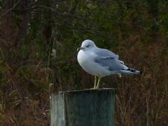 Ring-billed Gull (Dendroica cerulea) Tags: ringbilledgull larusdelawarensis larus laridae lari charadriiformes aves gull bird birds autumn southamboy middlesexcounty nj newjersey