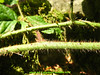 abetone bosco (giordano torretta alias giokappadue) Tags: abetone bosco macro spine verde