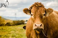 DSC_7642 (y.guignard) Tags: cow vache simply field champ clermont charlevoix automne autumn