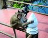 ,,  Ape & The Zoomer ,, (Jon in Thailand) Tags: legs dog k9 legsthezoomer thezoomer wildlife jungle themonkeytemple blue dogtail dogears monkey ape primate nikon nikkor d300 175528 green burgundytile burgundy handrail swamp littledoglaughedstories
