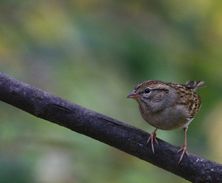 Chipping-sparrow-44w