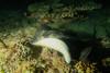 Black-Blotched Stingray (omar.flumignan) Tags: blackblotchedstingray taeniurameyeni nightdive immersionenotturna arinord nothari atoll atollo maldive maldives vacanza holiday mysachika canon g7xmk2 fantasea fg7xmk2 ikelite ds51 allnaturesparadise ngc flickrtravelaward