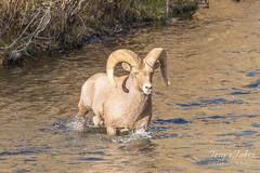 Bighorn Sheep ram crossing the South Platte River