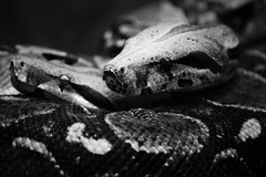 Love knot (Nathalie_Désirée) Tags: snake boaconstrictor two couple blackandwhite bw macro closeup tamron70300 canoneos600d reptile animal detail scales terrarium zoo zoologischbotanischergartenstuttgart wilhelma germany badenwuerttemberg feeling atmosphere mood affection expression monochrome nocholor colorless colorblind greyscale redtailedboa commonboa cute sweet