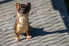 Weasel (mjeedelbr) Tags: weasel mammal washington state longtailed mustela frenata wildlife northwest boeing ponds urban outdoors us